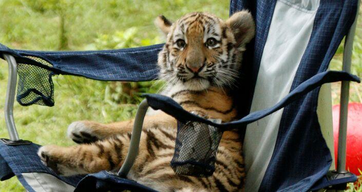 Amur tiger in Pittsburgh zoo