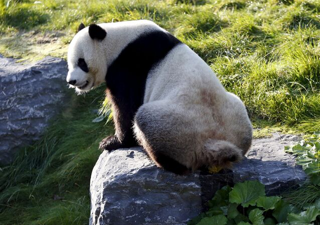 Xing Hui, a 6-year-old giant panda born in China, defecates at the Pairi Daiza wildlife park in Brugelette, Belgium September 28, 2015