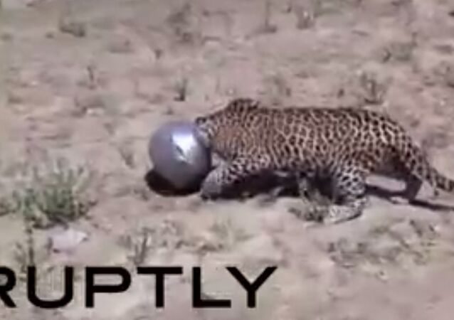 Leopard Gets Head Jammed in Pot in India