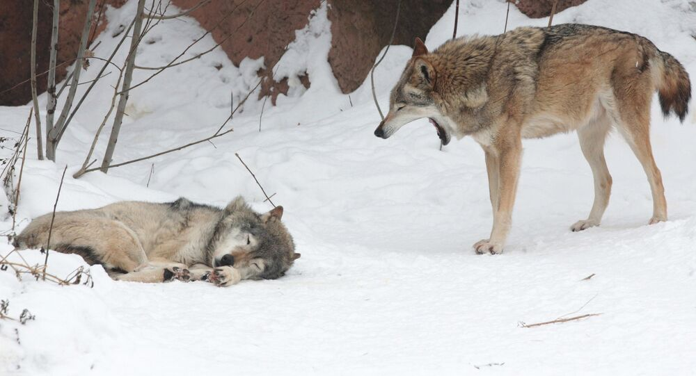 Wolves at the Moscow Zoo.