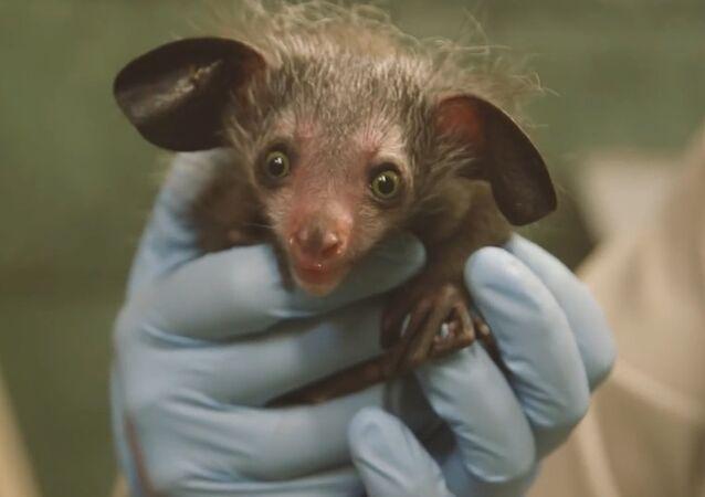 Rare Baby Aye-Aye Born at the San Diego Zoo