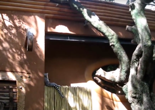 Lemur plays it cool after falling out of tree