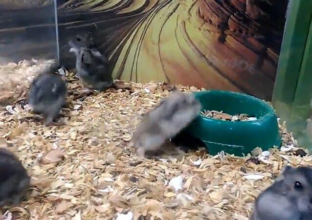 Hamster acrobatics