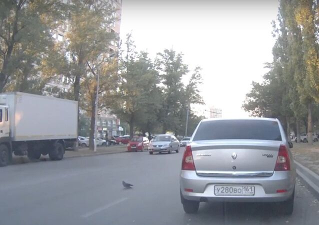 Pigeon Provokes Triple Traffic Accident