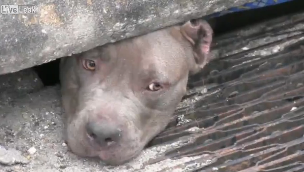 [Video] Police Officer finds and rescues 3 pit bulls huddled in storm drain