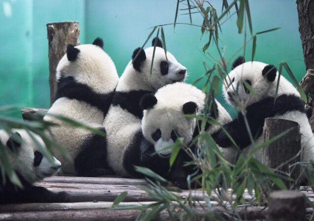The image shows Pandas in Chengdu Research Base of Giant Panda Breeding, China