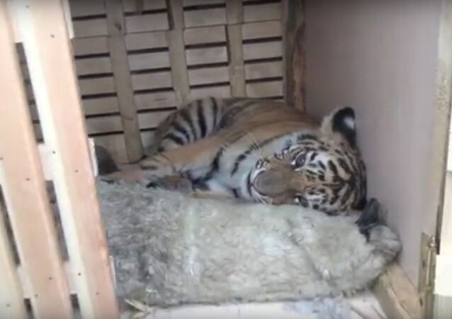 he tiger cub was rescued from a group of poachers and animal smugglers in Russia's Far East