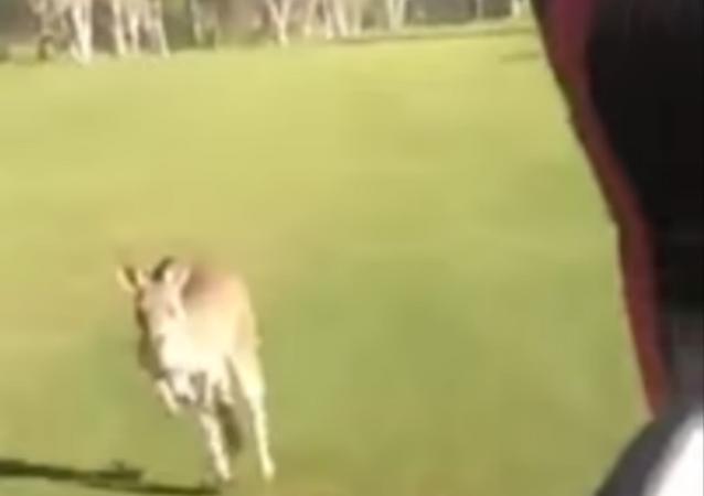 Huge Angry Kangaroo Chases Australian Golfers Off Course