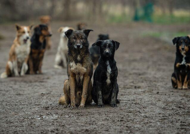 Serbian stray dogs