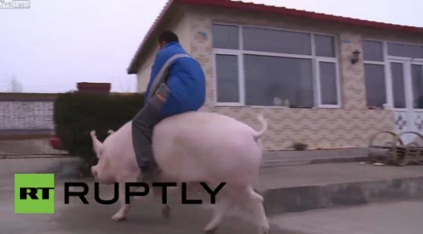 China: Hogzilla! See owner piggy-back MASSIVE pet sow like a horse