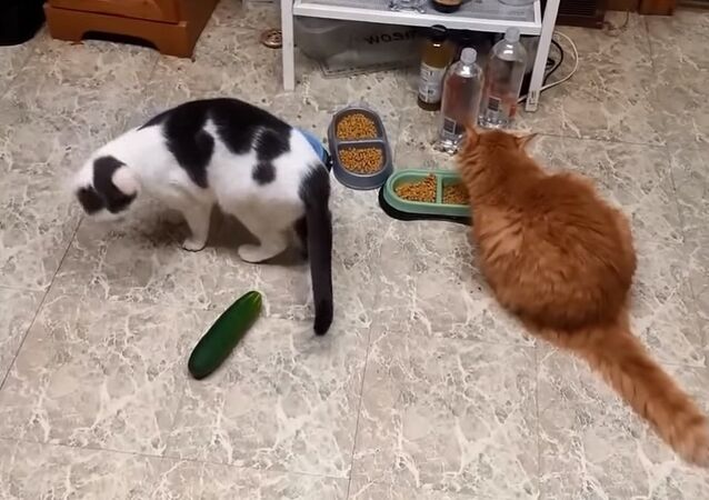 Cat Vs Cucumber compilation