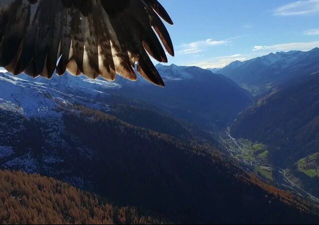 Aerial Kidnapping: Drone Stolen by Eagles Mid-Flight