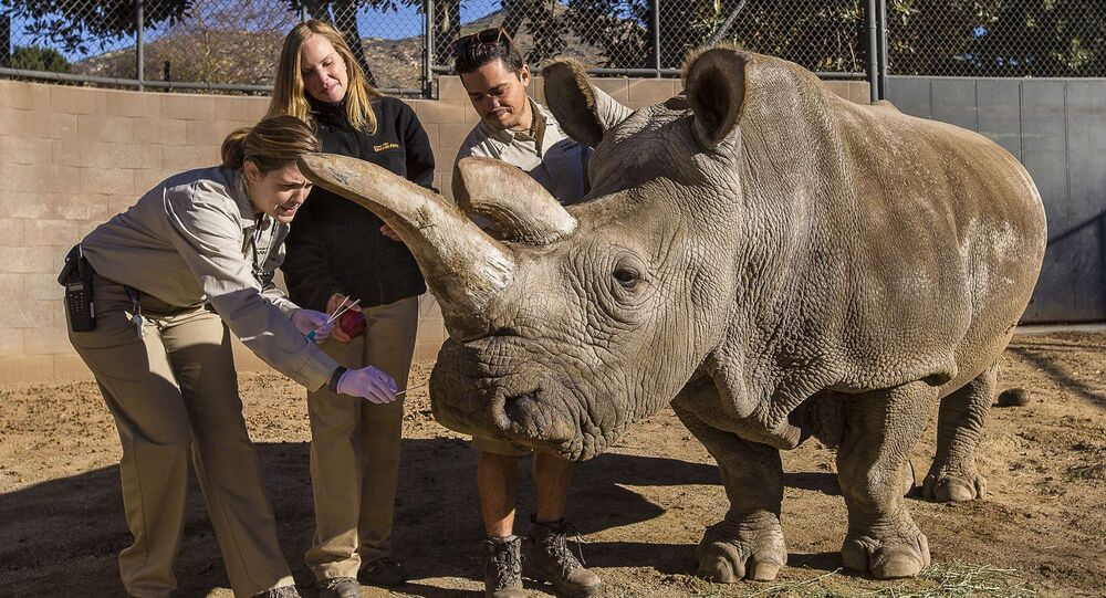A northern white rhino named Nola receives a veterinary exam from associate veterinarian Meredith Clancy (L) as keepers Kim Millspaugh and Mike Veale (R) assist at the San Diego Zoo Safari Park in California in this December 29, 2014 file photo
