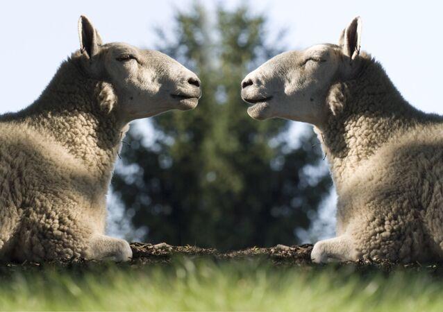 Сloned sheep