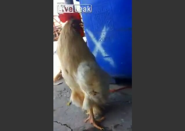 Rooster walking upright