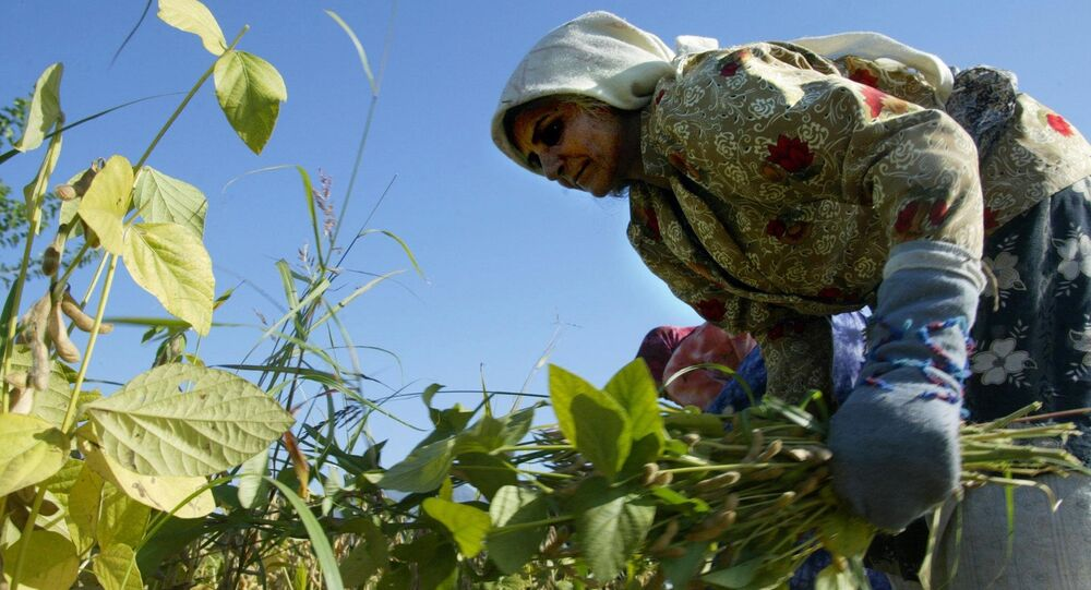 An Iranian woman reaps beans crops at a farm near the town of Gorgan in the southwest of Golestan province, 397 kms from Tehran, 30 October 2004