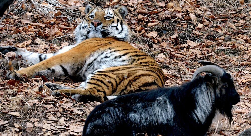 Friendship between goat Timur and tiger Amur at Safari Park in Primorye Territory