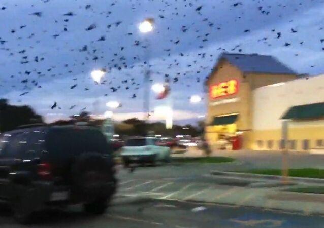 Flocks of birds invade parking lot