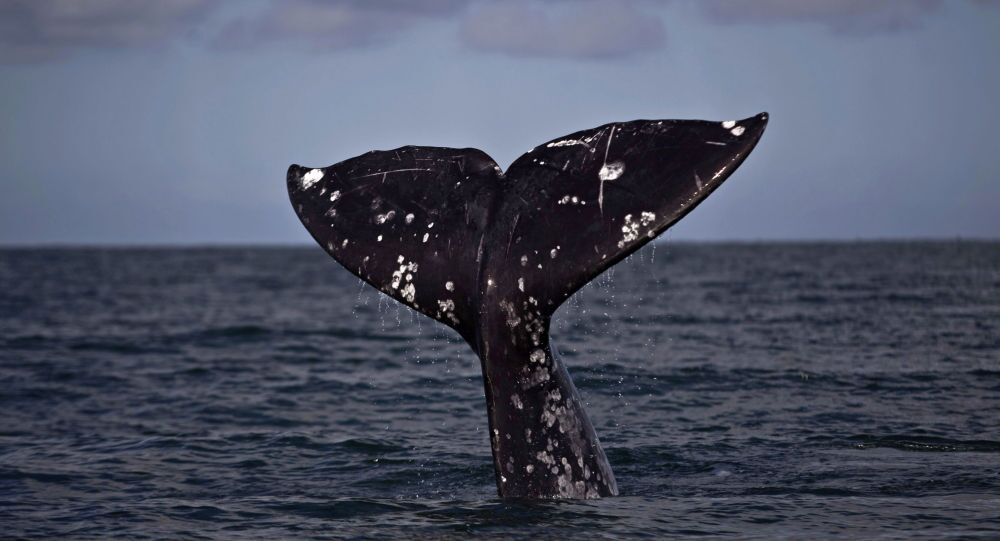 The tail of a gray whale