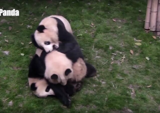 A Panda Tries To Stop Two Pandas From Fighting, But...