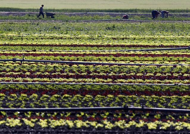 Vegetable farmers work in a field of salads in Feldmoching near Munich, southern Germany. (File)