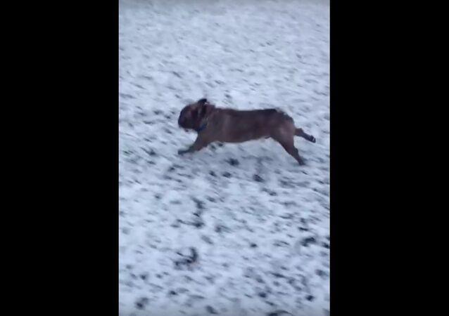 Bulldog snow slide