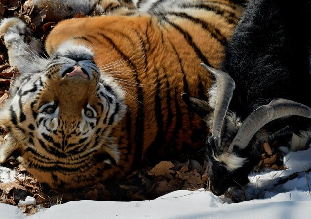 Amur the Tiger and Timur the Goat at the safari park in Russia's Primorsky Territory