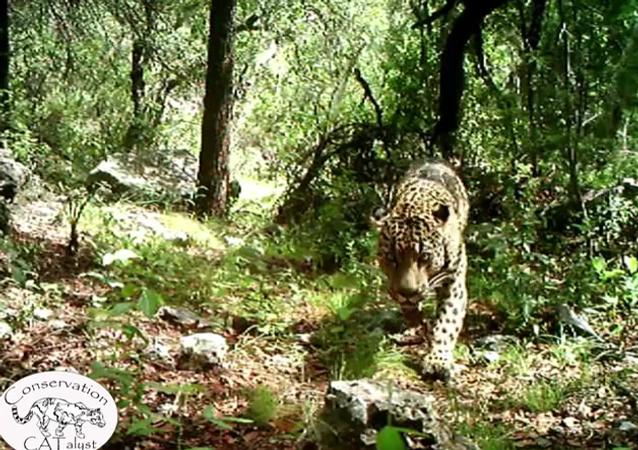 Rare Arizona jaguar roams mountains near Tucson