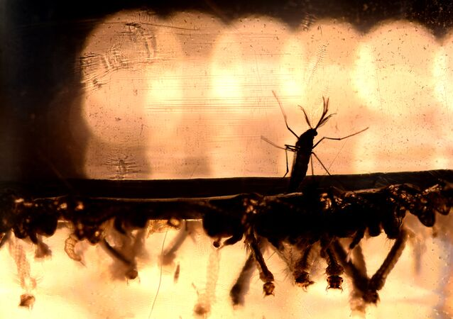 The Aedes Aegypti mosquito larvae are photographed at a laboratory of the Ministry of Health of El Salvador in San Salvador