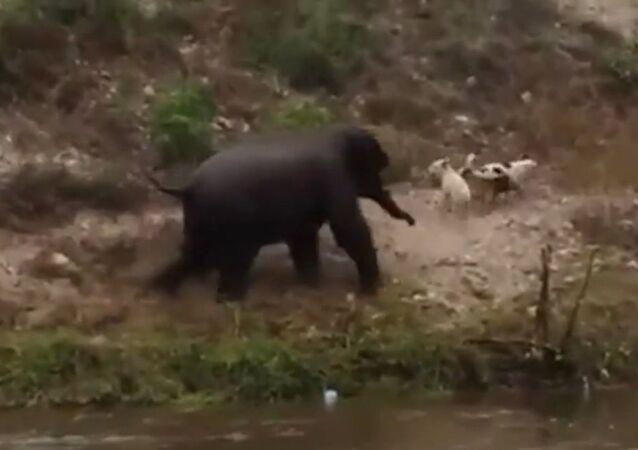 Baby elephant runs away from dog