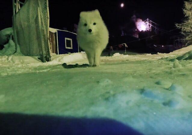 Arctic Fox Steals A Camera!