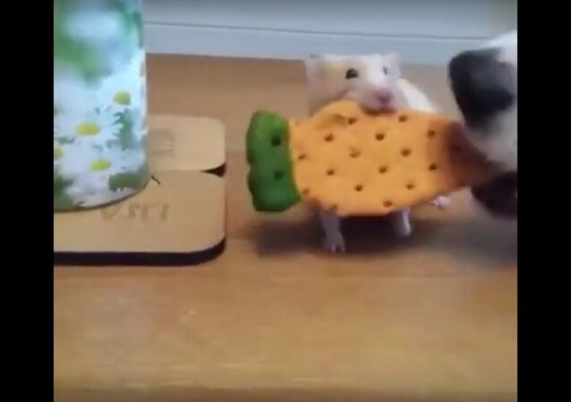 A dog steals a hamster's cookie