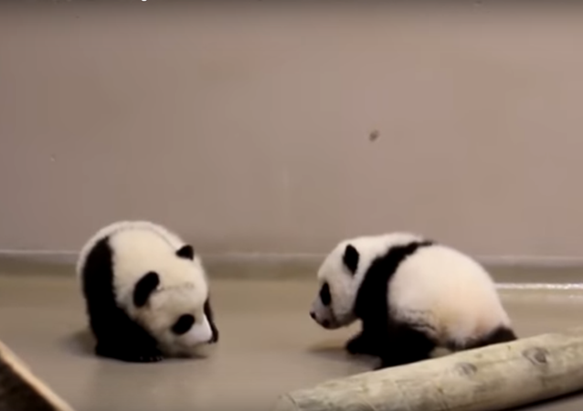 Tiny panda cubs make their first steps