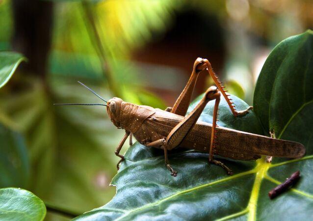 Big Locust at Bay Village Tropical Retreat, Cairns, Australia