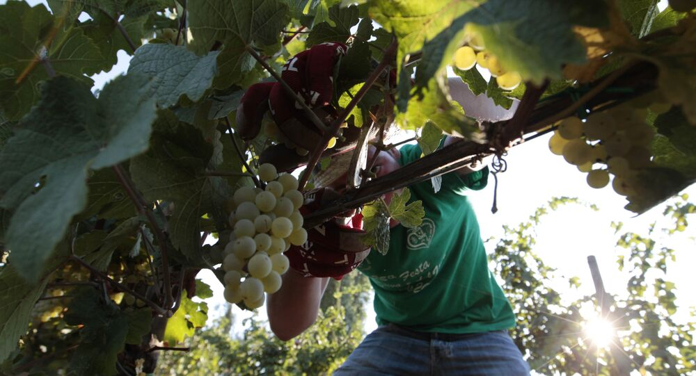 A farmer picks grapes for harvest in the Villa Germaine vineyards of Ariccia, on the outskirts of Rome