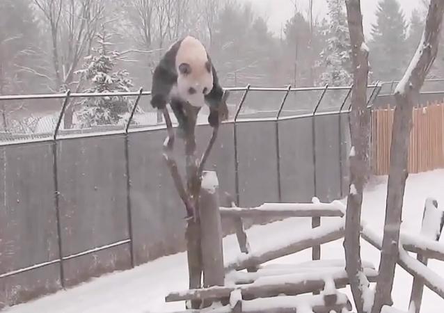Toronto Zoo Giant Panda Climbing in the Snow!