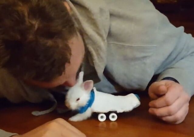 Paralyzed Bunny Uses Miniature Skateboard