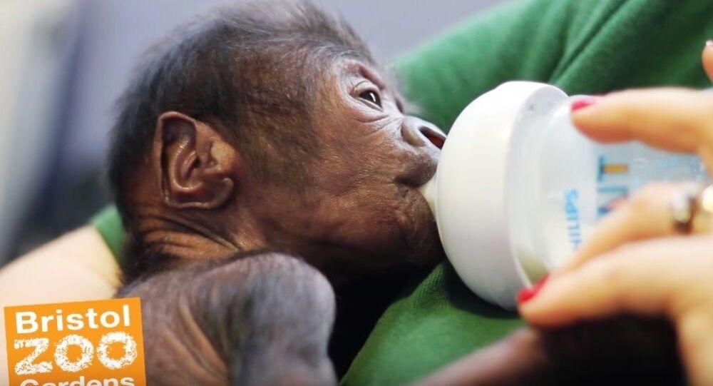 Baby gorilla born at Bristol Zoo Gardens after rare Cesarean section.