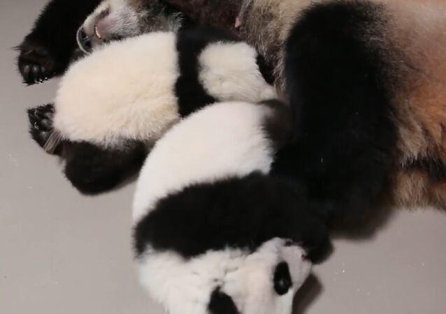 Both Toronto Zoo Giant Panda Cubs With Mom, Er Shun