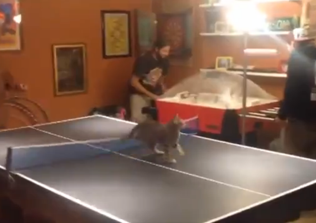 Kitten just can't stay away from ping pong showdown