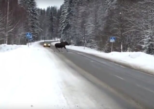 A moose who abides by traffic laws