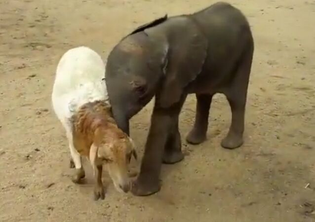 Baby Elephant Who Lost His Parents Finds An Unlikely New Mom