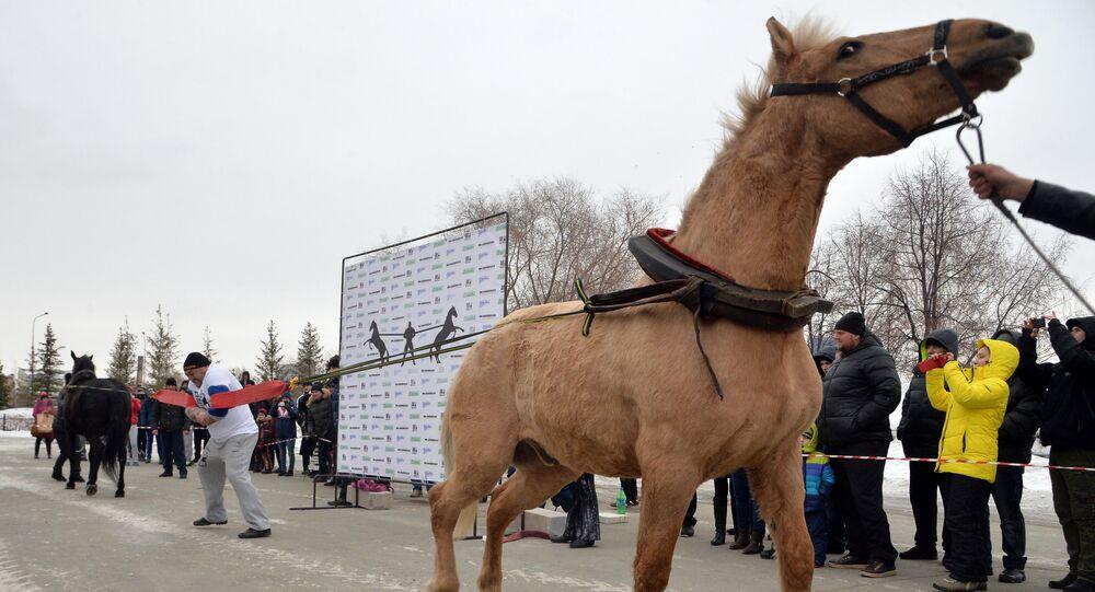 The Chelyabinsk strongman Elbrus Nigmatullin performing a unique stunt of restraining two horses
