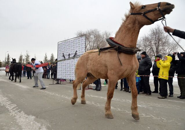 The Chelyabinsk strongman Elbrus Nigmatullin performing a unique stunt of restraining two horses