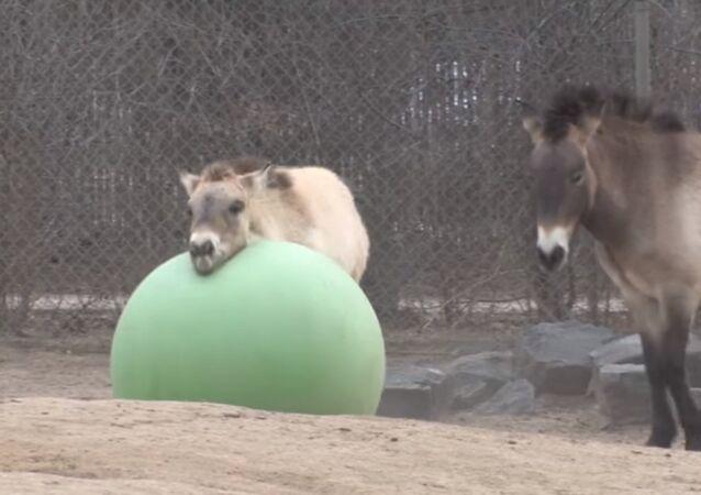 Denver Zoo Przewalski's horse Batu loves his toy ball