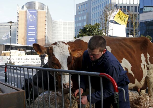Belgian farmer leads his cow outside the European Union agriculture ministers meeting as farmers protest against low selling prices in central Brussels, Belgium March 14, 2016