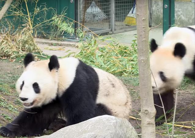 Pandas at the Schonbrunn Zoo in Vienna