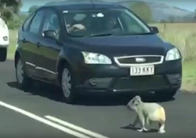 Cute koala stops traffic by jay-walking onto busy highway.