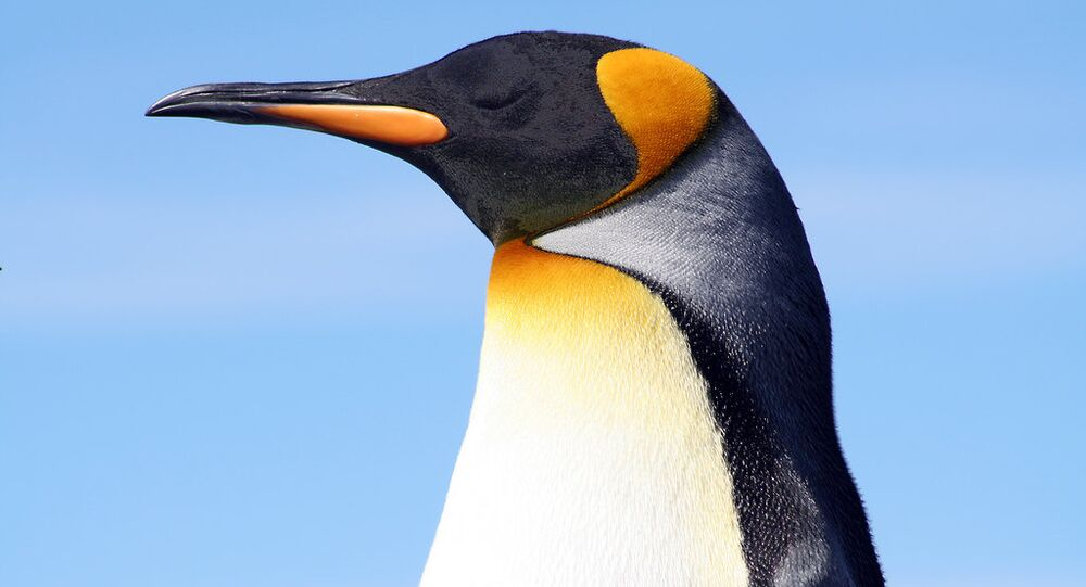 King penguin at the Falkland Islands.