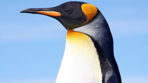 King penguin at the Falkland Islands.  - Sputnik International